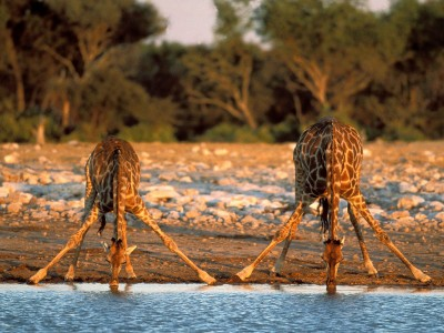 World_Africa_Thirsty_Giraffes___Etosha_National_Park___Namibia___Africa_008891_.jpg